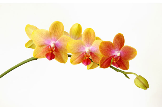 28th wedding anniversary, the orchid